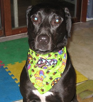 Large Summer Fall Collection Through the Collar Bandanas Buy 5 Get 1 FREE